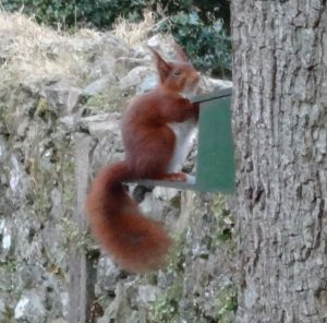 Red squirrel eyeing us with suspicion